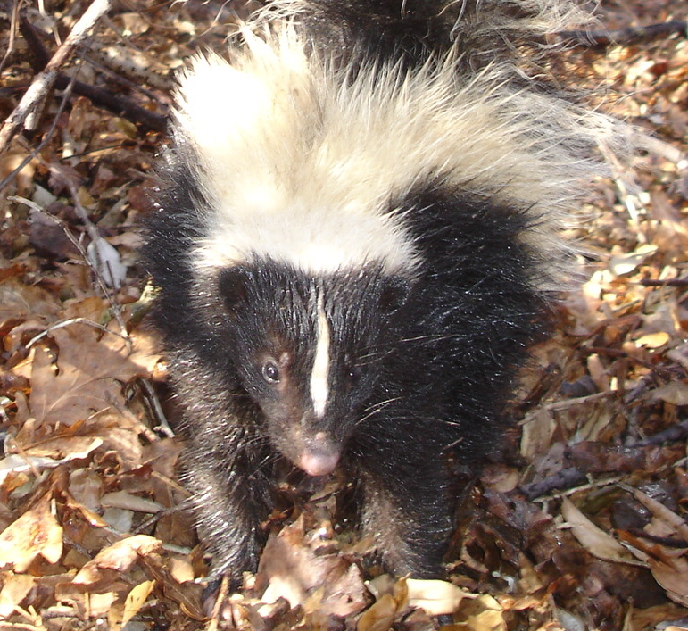 Skunk removal and control solutions in Hamilton