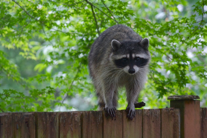 Differences Between City Raccoons and Wild Raccoons
