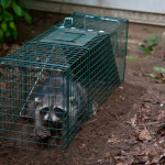 raccoon removal Hamilton