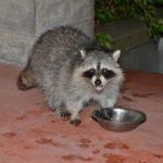 Effective Ways to Raccoon Proof Your Garbage Cans