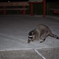 What Raccoons Feed On While In the City