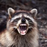 What to Do When You Find a Raccoon in Your Garbage