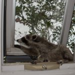 Be aware of Rabic Raccoons