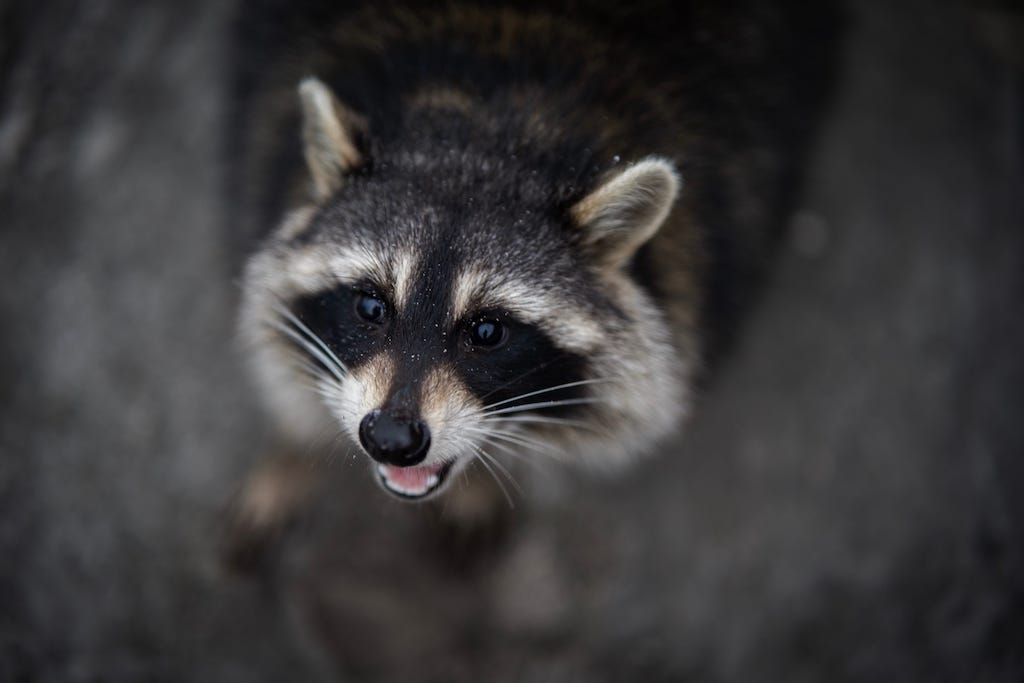 What Do to When you find Raccoon Babies in Your Atttic