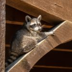 Raccoon Baby Season in Hamilton