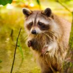 How can you spot a pregnant raccoon?