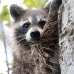 How To Raccoon Proof Your House