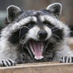 Raccoon Rabies Outbreak in Hamilton