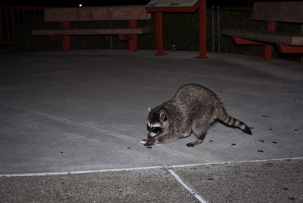 The Most Common Signs Of Raccoons in Your Attic