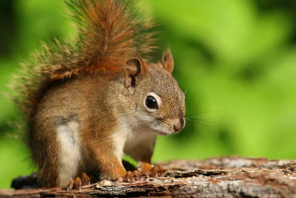 6 signs that show you have squirrels in your attic