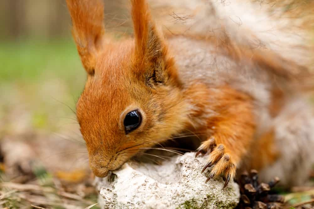 Can multiple squirrels cohabitate under one roof?
