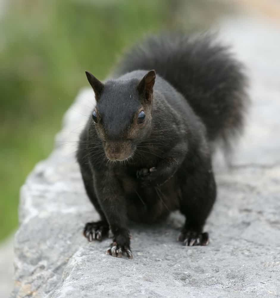 Do squirrels leave an attic space once it has nested itself?