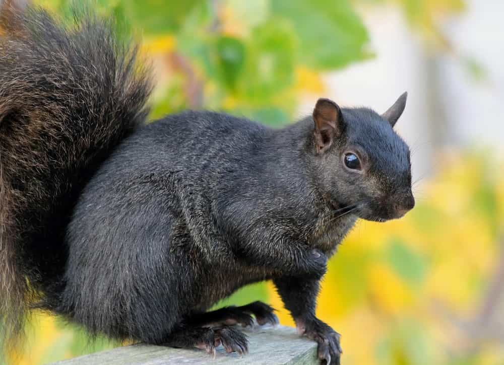 Do trees increase the chance of squirrels entering my attic?