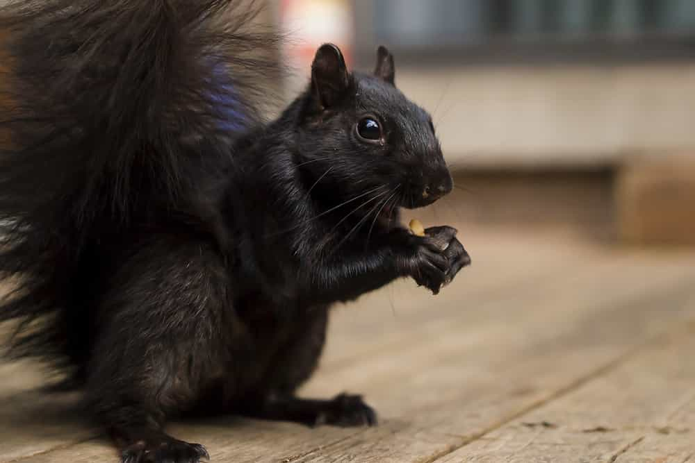 Does a squirrel leave on its own?