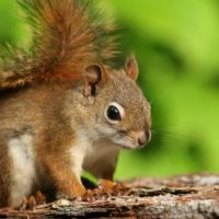 Is there a difference in behavior between the Red Squirrel and the Eastern Grey Squirrel?
