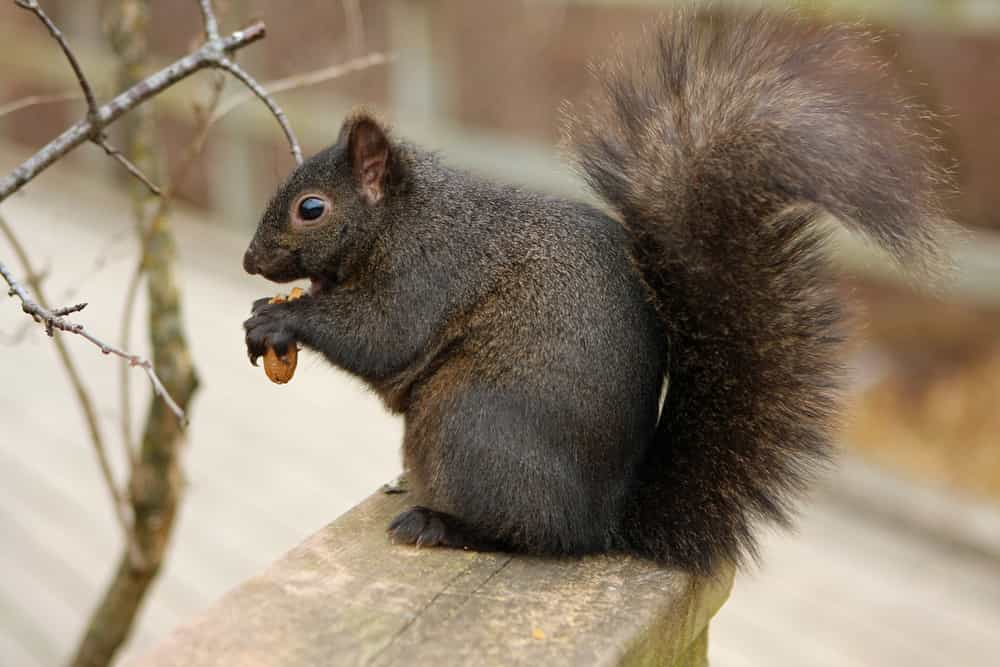 Why are squirrels intent on bird feeders?
