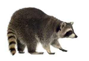 raccoon removal and control in Hamilton